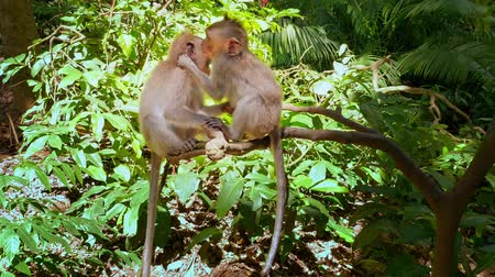 macaca fascicularis : Playful and cheerful young monkeys play and jump on tree branch in green forest