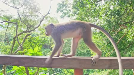 macaca fascicularis : Camera follows long tailed macaque walking fast on fence in Ubud forest nature. Bali, Indonesia, Asia Stock Footage