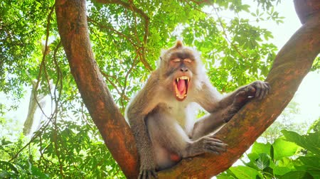 macaca fascicularis : Wild male monkey yawns opining mouth and showing teeth and big fangs in jungle forest of Ubud wildlife nature park