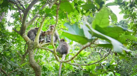 macaca fascicularis : Monkey family on tree sitting together. Camera approaching mother ape surrounded with many babies in forest canopy