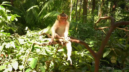 macaca fascicularis : Cheerful little macaque monkey in green jungle forest at sunny summer day Stock Footage