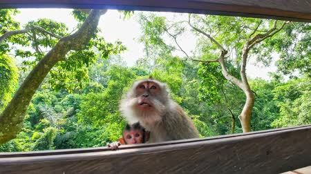 macaca fascicularis : Close up camera view of cute infant baby monkey with its mother macaque in Ubud forest park. Bali, Indonesia