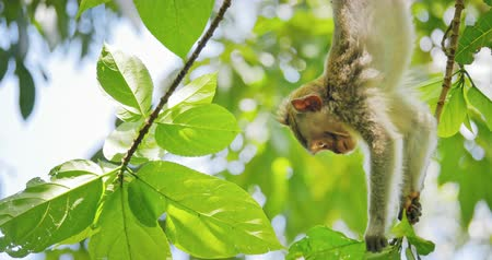 macaca fascicularis : Young macaque monkey climbing and hanging upside down on tree branch in forest. Tropical fauna and flora nature of Indonesian jungle
