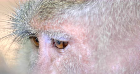 macaca fascicularis : Close up Monkey eyes. Macro view of macaque face and fur hair on ape head. Wild animals of asian tropical rain forest Stock Footage