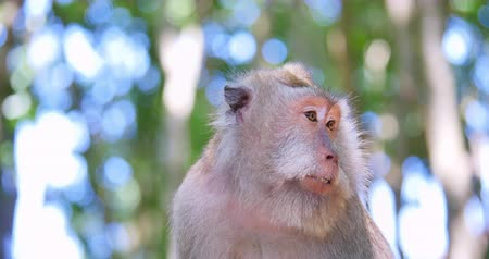 macaca fascicularis : Monkey portrait and face expression. Funny asian macaque in wild nature of tropical forest