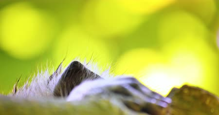 macaca fascicularis : Close up eyes of curious monkey looking over tree branch in tropical jungle forest Stock Footage