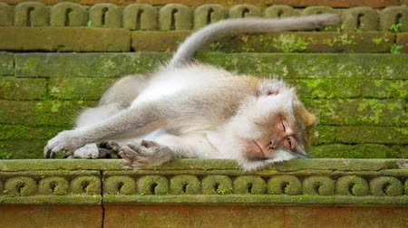 macaca fascicularis : Monkey sleeps in Bali temple area. Sacred hindu forest in Ubud, Indonesia
