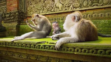 macaca fascicularis : Cute infant baby monkey with family in ancient sacred Bali hindu temple in Ubud. Monkey Forest park travel landmark and tourist destination site in Asia