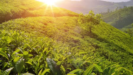 Majestic view of sun light shines on tea plant leaves. Nuwara Eliya plantation fields on hill slopes. Beautiful Sri Lanka nature landscapes 影像素材