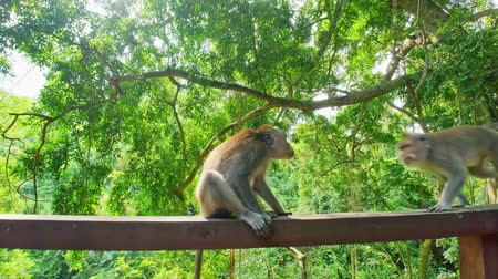 macaca fascicularis : Macaque monkeys in green forest park in Ubud, Bali, Indonesia. Jumping animal