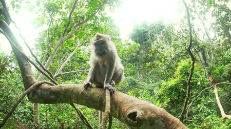 macaca fascicularis : Wild animals of asian jungle forest. Macaque monkey on tree branch of rainforest canopy