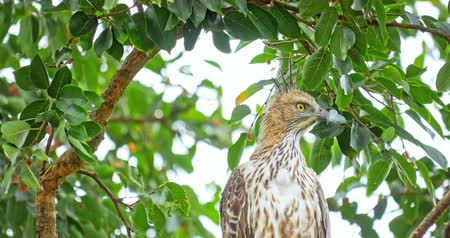 crested hawk eagle : Big yellow eyes, exotic plumage and curved beak of wild Hawk Eagle bird in wild nature of Sri Lanka protected forest. Wildlife safari in Yala National Park
