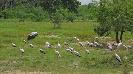 painted stork : Large stork bird flies and flaps its wings slow motion video. Wildlife nature of Sri Lanka fauna and flora natural reserve