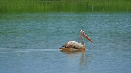 spot billed pelican : Profile view of exotic aquatic bird Spot-billed Pelican floats on lake water in Yala national park, Sri Lanka wildlife reserve and wild nature sanctuary