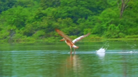 spot billed pelican : Pelican bird takes off from lake water and flies in wild nature of Sri Lanka Yala National Park. Beautiful wildlife safari in protected sanctuary in Asia