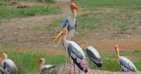 painted stork : Painted Storks gather in groups. Breeding season in Yala national park Sri Lanka Stock Footage