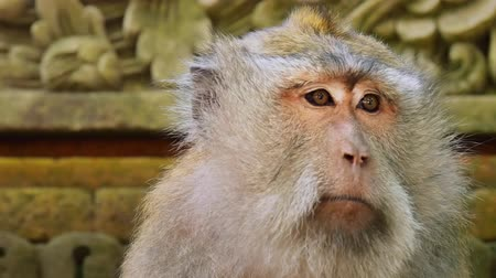 macaca fascicularis : Close up portrait of adult macaque male in Ubud Monkey Forest Temple site. Bali Indonesia Stock Footage