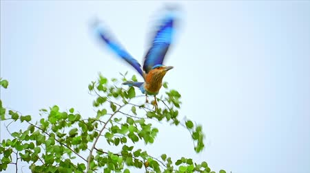 indian roller : Wild animals in Sri Lanka nature reserve. Indian Roller Bird Slow motion flight Stock Footage
