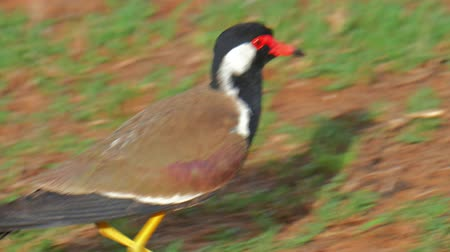 indicus : Beautiful Red-wattled lapwing bird runs quickly on ground in Yala park Sri Lanka