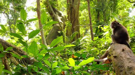macaca fascicularis : Beautiful green rainforest with Macaque monkey sitting on branch in tropical lush nature environment. Beautiful wild habitat of unique asian flora and fauna