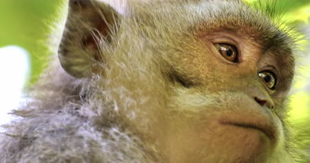 macaca fascicularis : Close up eyes and face of asian macaque monkey in wildlife of tropical jungle forest