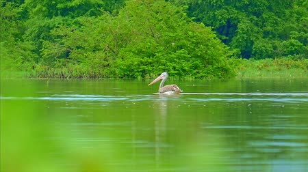 spot billed pelican : Slow motion video of floating pelican in green wild nature of Sri Lanka. Yala national park wild animals safari and birdwatching tour Stock Footage