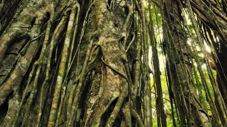 banyan : Close up view of tree bark and trunk natural texture in rainforest jungle with many hanging twisted roots. Tropical climate in evergreen forest Stock Footage