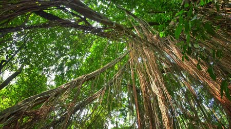 banyan : Green foliage of rainforest canopy POV camera. Hanging lianas and creeper plants in wet humid climate of evergreen jungle forest Stock Footage