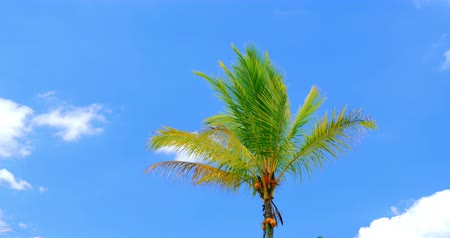 coconut palm tree : Palm tree isolated in blue sky background. Tropical nature 4K video