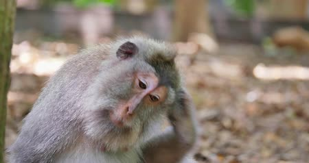 macaca fascicularis : Funny macaque monkey itches and scratches its fur and body hair in wild nature Stock Footage