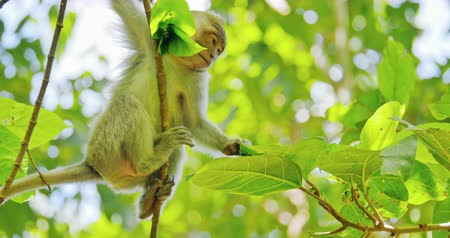 macaca fascicularis : Cute asian monkey moves and climbs from branch to branch in green tropical forest of indonesian jungle natural reserve. Protected animals in wild habitat and environment