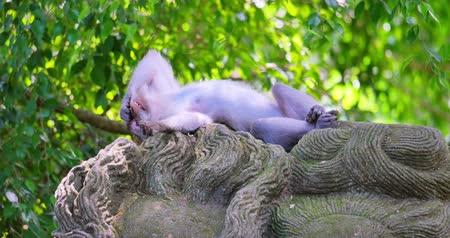 macaca fascicularis : Funny monkey sleeps and yawns on ancient balinese statue in greenery of forest in tropical climate of Bali isalnd in Indonesia