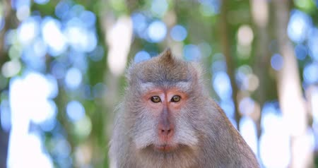 macaca fascicularis : Cute monkey with funny face talks and communicates by making sounds. Wild macaque portrait in tropical jungle forest nature