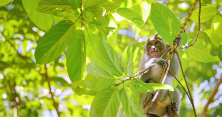 macaca fascicularis : Cute little monkey on tree branch among green leaves of forest canopy at sunny day in Indonesia jungle