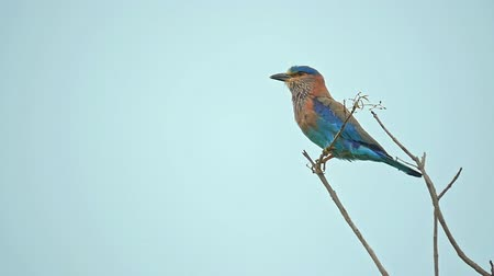 indian roller : Rainy monsoon season in Asia. Indian Roller bird on tree perch under rain fall with wet feathers of colorful plumage in Udawalawe national park in Sri Lanka slow motion video