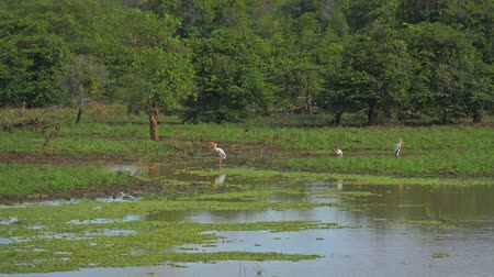 painted stork : Painted storks birds on lake side near forest of Yala park in Sri Lanka. Protected nature reserve and wildlife sanctuary in Asia Stock Footage