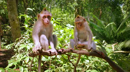 macaca fascicularis : Two playful monkeys fool around and play with each other in green jungle forest Stock Footage