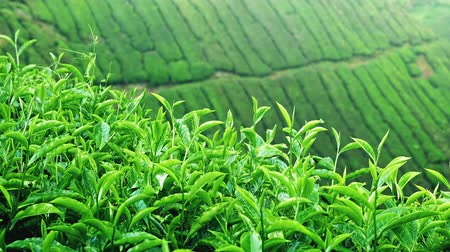 camsı : Tranquil scene of fresh green tea leaves sway by wind. Tea plantation nature background Stok Video