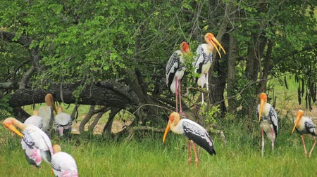 колония : Colony of large aquatic birds Painted Storks Mycteria Leucocephala in wild nature habitat. Animals of Yala National Park in Sri Lanka Стоковые видеозаписи