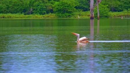 spot billed pelican : Spot-Billed Pelican hunting on fish in water while floating on lake in Sri Lanka