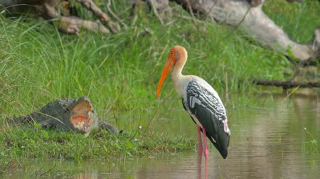 painted stork : Exotic tropical bird Painted Stork stands in lake water near crocodile. Sri Lanka wildlife nature landscape. Wild animals safari tour in Yala National park Stock Footage