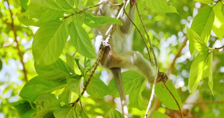 macaca fascicularis : Macaque monkey climbs on tree branch in green forest. Long-tailed Asian Macaca Stock Footage