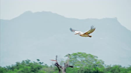 spot billed pelican : Wild pelican flying slow motion video. Exotic animals and protected nature of Yala National Park, Sri Lanka