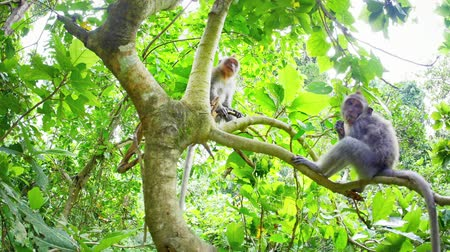macaca fascicularis : Funny playful monkeys in greenery of rainforest canopy sit on tree branch. Wildlife fauna and flora of Indonesian jungle forest Stock Footage