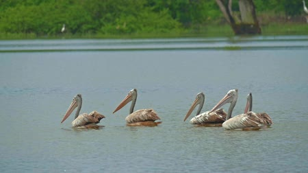 spot billed pelican : Flock of Pelicans on lake water slow motion video. Yala Park Sri Lanka wild animals and wildlife nature