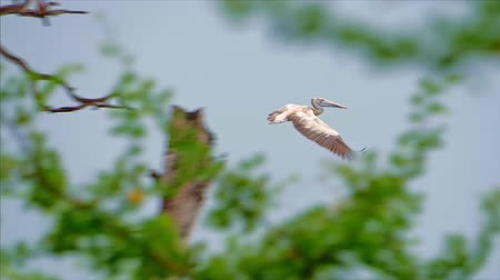 spot billed pelican : Slow motion video of Spot-billed Pelican flying in wild nature of Sri Lanka. Yala national park protected animals and flora background