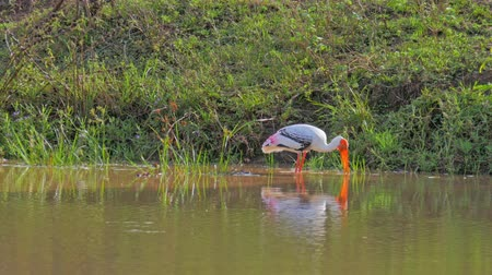 painted stork : Painted stork hunting in lake water in Yala National Park wildlife nature reserve in Sri Lanka