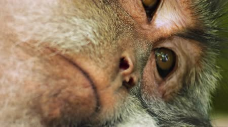 macaca fascicularis : Sleepy hairy monkey close up view Stock Footage