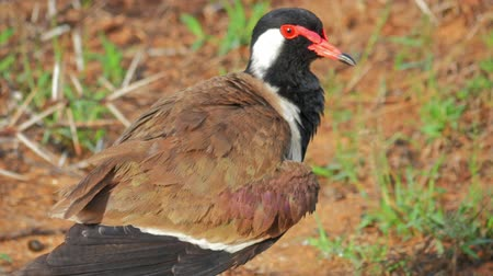 indicus : Wild Red-wattled Lapwing Vanellus Indicus in Yala national park, Sri Lanka