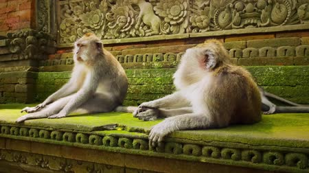 macaca fascicularis : Traditional culture and hindu architecture in Monkey Forest Temple in Bali, Ubud, Indonesia. Group of long-tailed macaques monkeys resting near ancient carvings